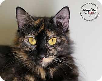 Domestic Mediumhair Cat for adoption in Lyons, New York - Sonora