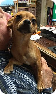 Chihuahua Dog for adoption in Metairie, Louisiana - LUCY