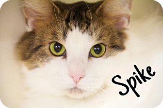 Domestic Mediumhair Cat for adoption in Livonia, Michigan - Spike