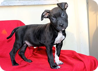 Pit Bull Terrier Mix Puppy for adoption in Los Angeles, California - Boogie