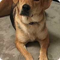 Shepherd (Unknown Type)/Beagle Mix Dog for adoption in Rockville, Maryland - Sabrinnah