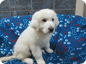 Great Pyrenees Puppy for adoption in Bartonsville, Pennsylvania - Dudley