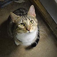 Adopt A Pet :: Shamrock - Pottsville, PA