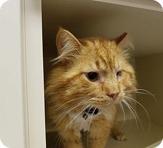 Domestic Mediumhair Cat for adoption in Elyria, Ohio - One-eyed Jack