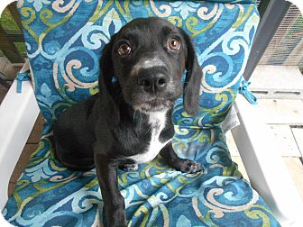 Cocker Spaniel/Pointer Mix Puppy for adoption in Kannapolis, North Carolina - Hoss - Male Puppy #5
