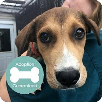 Shepherd (Unknown Type) Mix Puppy for adoption in Janesville, Wisconsin - Caboose