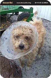 Border Terrier Dog for adoption in LaBelle, Florida - Deeno