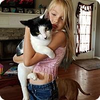 American Shorthair Cat for adoption in Covington, Georgia - Oreo