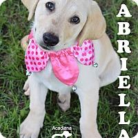 Adopt A Pet :: Gabriella - Denver, CO