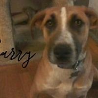 Adopt A Pet :: Harry - Joliet, IL