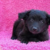 Adopt A Pet :: Senator - Los Angeles, CA