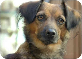 Spaniel (Unknown Type)/Terrier (Unknown Type, Small) Mix Dog for adoption in South Lake Tahoe, California - Samantha
