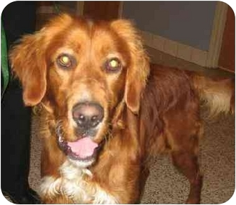 Golden Retriever Dog for adoption in Cleveland, Ohio - Buck