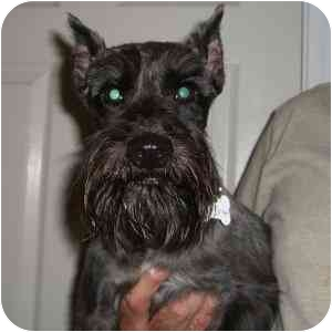 Schnauzer (Miniature) Dog for adoption in Redondo Beach, California - Simon