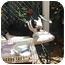 Photo 2 - Boston Terrier Dog for adoption in Temecula, California - Sargy