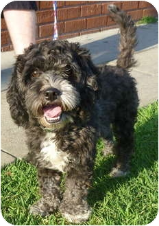 Portuguese Water Dog/Poodle (Miniature) Mix Dog for adoption in Los Angeles, California - Bethany