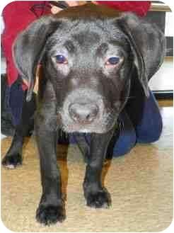 Labrador Retriever Mix Puppy for adoption in Loudonville, New York - Domino