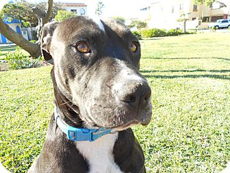 American Pit Bull Terrier Dog for adoption in El Cajon, California - BELLE sweet & humble