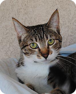 Domestic Shorthair Cat for adoption in Palmdale, California - Nala