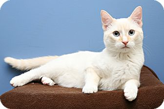 Siamese Cat for adoption in Bellingham, Washington - Qtip
