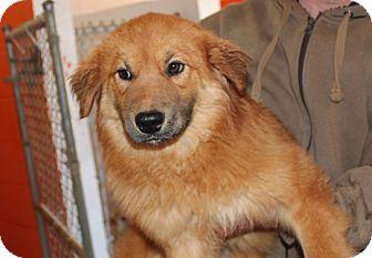 Golden Retriever/Spitz (Unknown Type, Medium) Mix Dog for adoption in Harrisonburg, Virginia - Strawberry Cheesecake