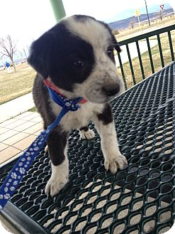 Shepherd (Unknown Type)/Border Collie Mix Puppy for adoption in Westminster, Colorado - Oreo