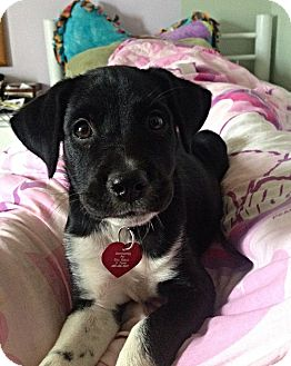 Labrador Retriever/Border Collie Mix Puppy for adoption in Huntsville, Alabama - Bloom