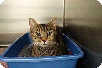 Domestic Mediumhair Cat for adoption in Elyria, Ohio - Delilah