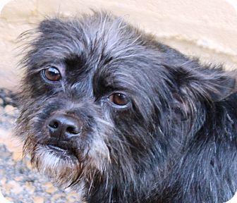 Cairn Terrier Mix Dog for adoption in McDonough, Georgia - Layla