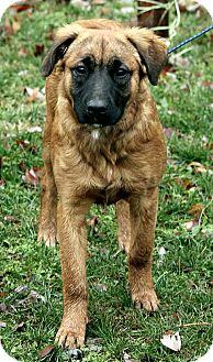 Leonberger/Shepherd (Unknown Type) Mix Dog for adoption in Washington, D.C. - Zoe
