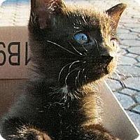 Adopt A Pet :: Jo-Jo - Cranford/Rartian, NJ