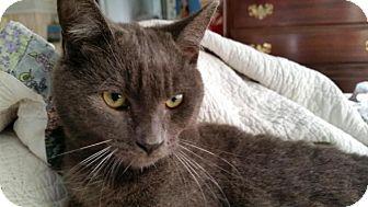 Domestic Shorthair Cat for adoption in Orlando-Kissimmee, Florida - Kermit