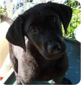 Labrador Retriever Mix Puppy for adoption in Haverhill, Massachusetts - Mort