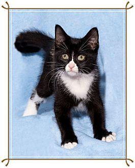 Domestic Shorthair Kitten for adoption in Mt. Prospect, Illinois - Hershey