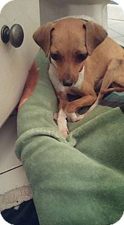 Chihuahua Mix Dog for adoption in Brooksville, Florida - Chloe