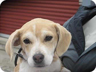 Beagle Mix Puppy for adoption in Hagerstown, Maryland - Citrine