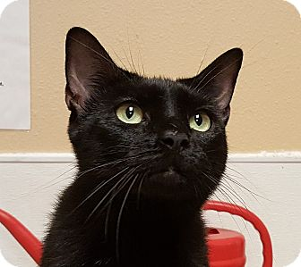 Domestic Shorthair Cat for adoption in Smithfield, North Carolina - Maggie
