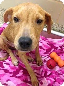 Retriever (Unknown Type) Mix Dog for adoption in Aiken, South Carolina - Whisper