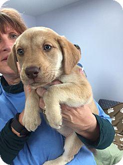 Labrador Retriever Mix Puppy for adoption in Hawk Point, Missouri - Sol