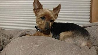 Yorkie, Yorkshire Terrier Dog for adoption in Denton, Maryland - Scooter