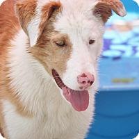 Adopt A Pet :: Val The Aussie - Hooksett, NH