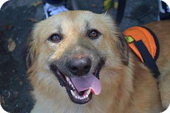 Golden Retriever/Belgian Malinois Mix Puppy for adoption in NYC, New York - Kamona Egypt