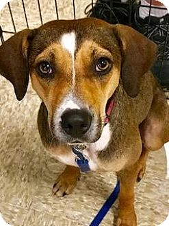 Hound (Unknown Type) Mix Dog for adoption in tampa, Florida - Faith