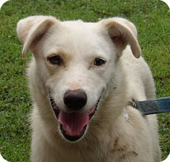 Husky/Labrador Retriever Mix Dog for adoption in SUSSEX, New Jersey - Lambchop (45 lb) Sweet Beauty