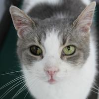 Adopt A Pet :: Saylor FIV+ - St. Petersburg, FL
