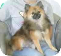 Pomeranian/Pomeranian Mix Puppy for adoption in Cole Camp, Missouri - BearCub