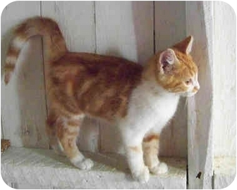 Domestic Shorthair Kitten for adoption in Brighton, Michigan - Turbo