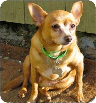 Chihuahua Mix Dog for adoption in Portland, Oregon - Tick