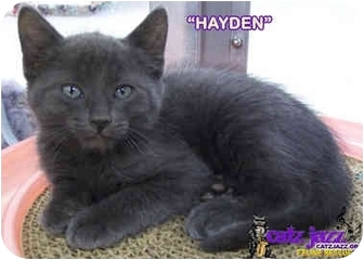 Russian Blue Kitten for adoption in Cedar Creek, Texas - Hayden