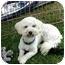 Photo 2 - Bichon Frise/Poodle (Miniature) Mix Dog for adoption in Sherman Oaks, California - YUKI